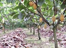 A-Bright-future-for-cocoa